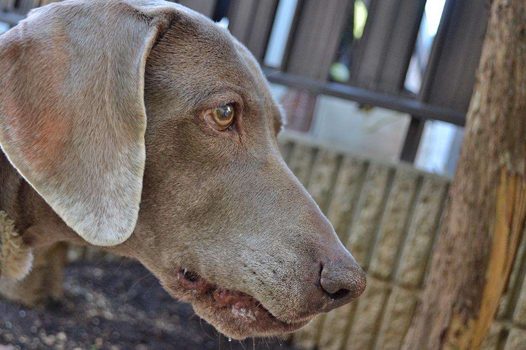 年を経るほどにかわいい犬。カヤ