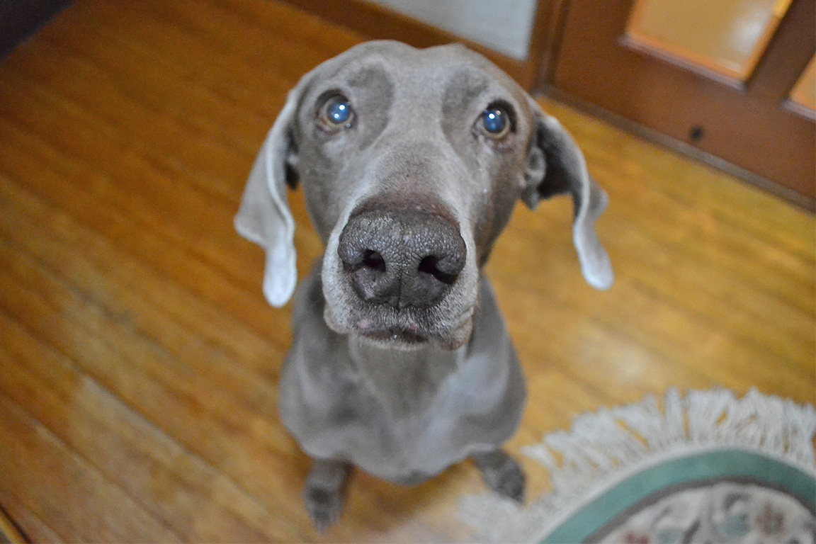目を輝かせるほどの好きが在るということは、 ただそれだけで、すんばらしいことだ。 というのも、犬のカヤはオヤツのクッキーを見たり、 構ってくれる人間を見るだけで、とてもいい目になる。 その目や、その表情を見るだけで、 見ている人間までうれしくなるのです。 好きなものを見ているときのカヤは、 なんだか若返って見えます。 犬の13歳は、人間でいうおばあちゃんですが、 目を輝かせていて、おばあちゃん犬には見えません。 人間も同じです。目を輝かせると、若くなる。 足がわるい年配の女性だって、お買い物で、 お気に入りのものを見つけた瞬間に、 少女のように「カワイイ」と言って若返る。 会社ではむずかしい顔をした年配の男性だって、 好きな車がショーウィンドウに飾られていると、 「かっこいいなー」と少年のような目になって、 カメラのシャッターをおろす。 若返りの方法に、 食事管理だとか、美容だとか、運動などがあるが、 これに「目を輝かせるほど好きなものに触れる」 っていう項目を増やしてもいいと思う。 金持ちのおじいちゃんが、 財産目的だろう、というような若い女性と 死ぬ間際に結婚するといったことがあるが、 これは、歳をとらないために科学の力や、 食事の力を試みたおじいちゃんの 無意識下における最後の若返り策なのかもしれません。 目を輝かせるほど好きなものは、 クッキーでも、洋服でも、車でも、美女でもいい。 誰かにとっては、ゴミと思えるものだっていい。 それでは、今日も、明日も、明後日も、1日を。 あなたの目を輝かせるものは何ですか? [alert]感想を送る[/alert]